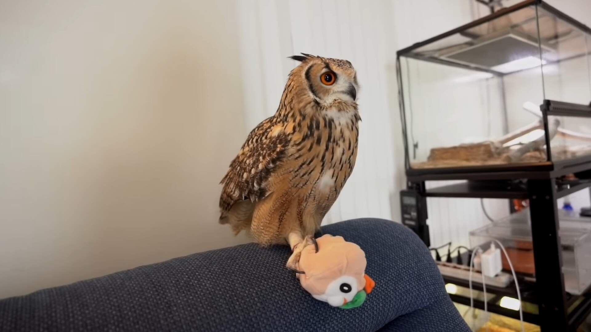 Rowlett is the Best Pokemon Starter, as Decided by a Real Owl